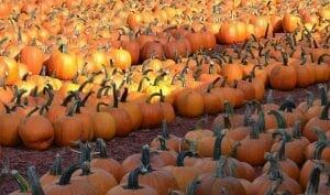 pumpkin patch 300x177 - Best Things to Do in Dawsonville